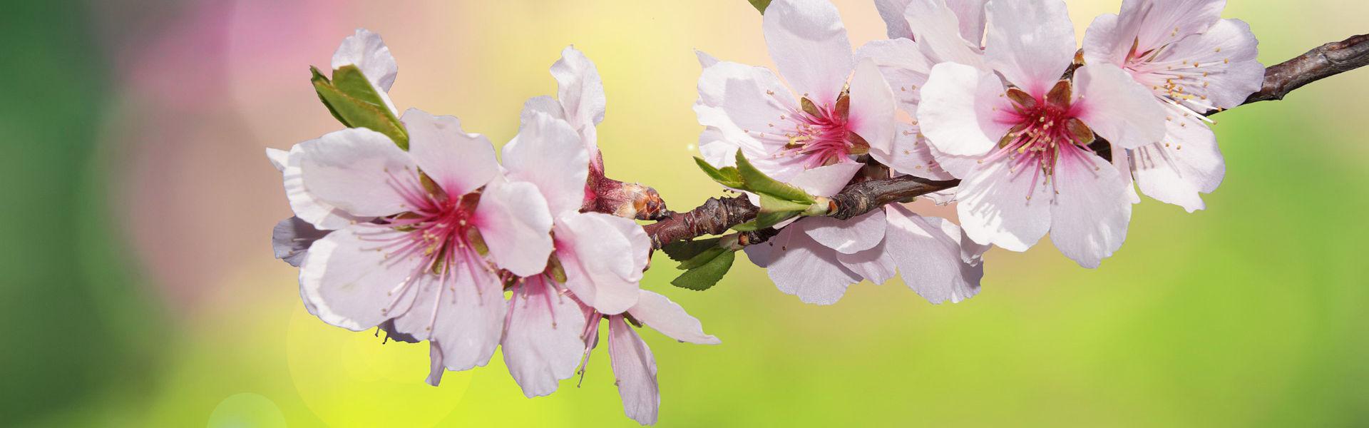 duftende Frühlingsblüte Kirsche